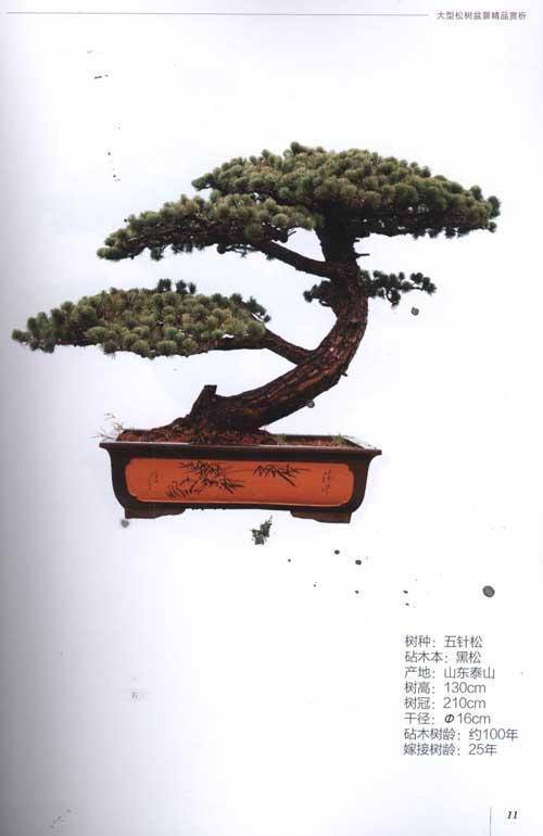 马尾松树嫁接技术图解